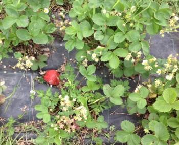 Kun rastaat muutaman kerran kopauttavat nokkansa punaiseen kiveen, lakkaavat mansikat kiinnostamasta.
