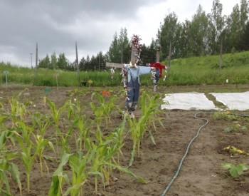 Variksenpelätin vahtii maissisatoa Lastenpuutarha Piparmintussa Tampereella.