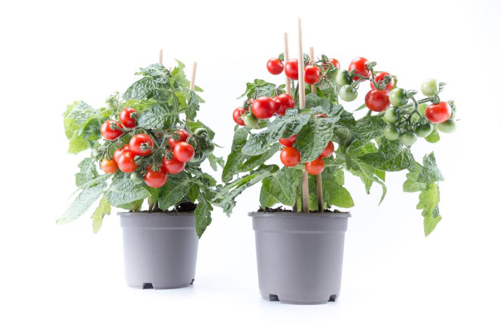 Tomaatin Kasvatus Sisätiloissa